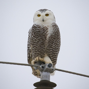 After a game of chase with a male, this snowy landed on our pole to check us out