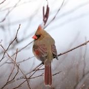 Female Cardinal at dusk