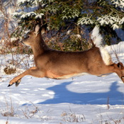 flying deer