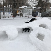 Dogs in snow tunnels