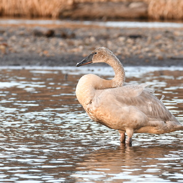 Trumpeter Swan in Burnaby Lake