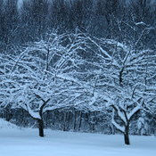 Snowy Apple Trees