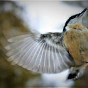 Nuthatch landing on the feeder.