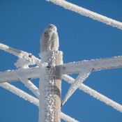 Snowy owl on frost laden transmission lines