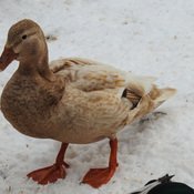 Leucistic female Mallard Duck