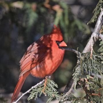 "RED BIRD IN THE CEDAR...""CARDINAL"""