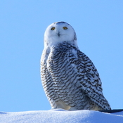 Snowy owl Casselman, ON