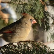 Female Cardinal in cedar tree