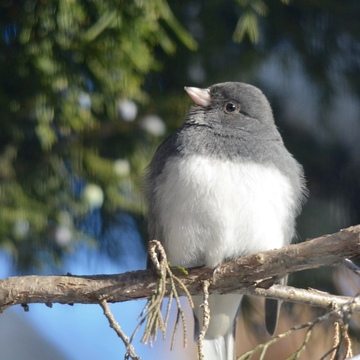 Junco in cedar tree