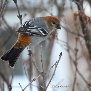 Gorgeous Pine Grosbeak Female