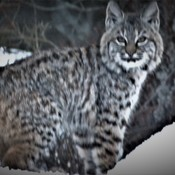 Bobcat pic through a car window