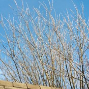 Willow in January