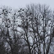 Crow invasion. Incredible to see and hear.