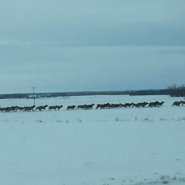 Elk moving