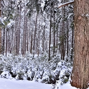 Winter Hemlock Forest