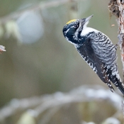 American three toed woodpecker