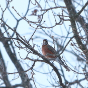 Robins back in Stockdale Jan 21