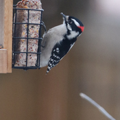 Downy Woodpecker getting some food on a foggy Edmonton morning