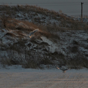 Two female snowy owl's