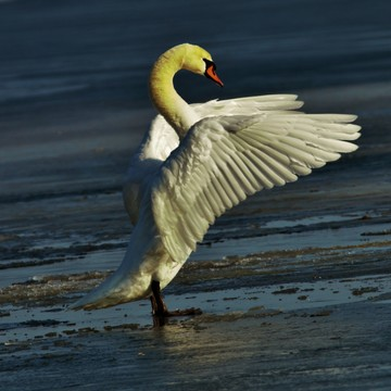 air drying swan