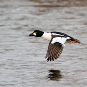Common Goldeneye (M) in Flight