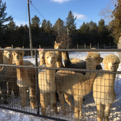 Alpacas enjoying the milder break.