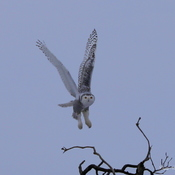 Snowy Owl Lifting Off