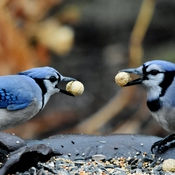 bluejay time
