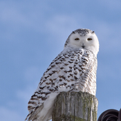 Snowy owl waiting for movement across the road