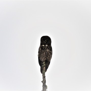 Great Grey/Gray Owl