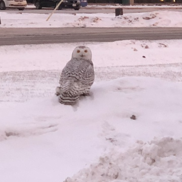 Snow owl in Sarnia