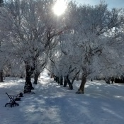 beautiful frosty trees