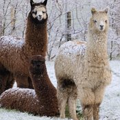 "Llamas in Scotland, ""The Guardians of the Sheep"""