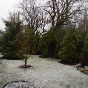 Hope BC backyard Saturday morning snow begins.3 c. temp.