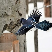 Opened Wings Blue Jay Portrait