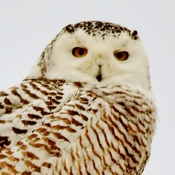 snowy owl close up