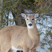 White Tailed Deer in our yard