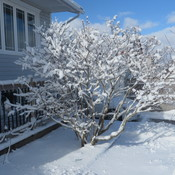 a snow covered lilac tree