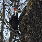 Majestic woodpecker in St Leonard.