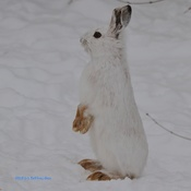 Snowshoe Hare Stands Up