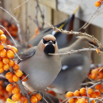 Waxwings enjoying our sea buckthorn berries!
