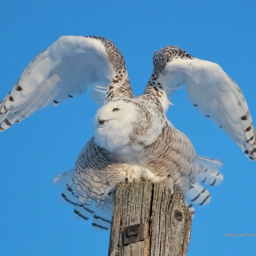 Snowy Owl - Ready to Fly