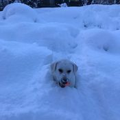 Chester Retrieving Ball in Snowbank