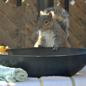 Squirrel loves his bath!