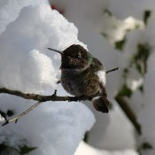 HUMMING BIRD IN THE SNOW