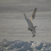 Snowy Owl Lift Off