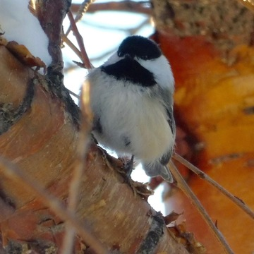 The Amazing Chickadee!