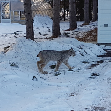 Lynx walking through the snow!