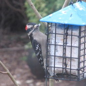 enjoying the suet