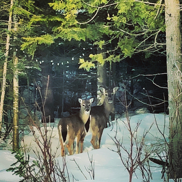 Deer at Johnson Harbour